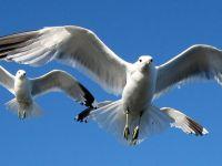 Датский город объявил войну ...чайкам