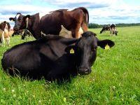 Датские коровы будут меньше загрязнять воздух