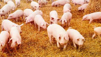 Дания: договор ЕС–США – катастрофа для датских свиноводов