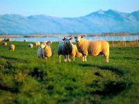 Норвегия: овцы на помощь турбизнесу