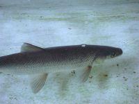 Финляндия: российская нельма может заменить норвежского лосося