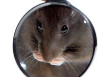Швеция: как избавиться от крыс?