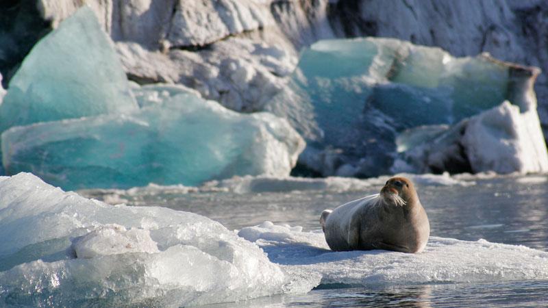 Норвегия простилась с тюленьим промыслом