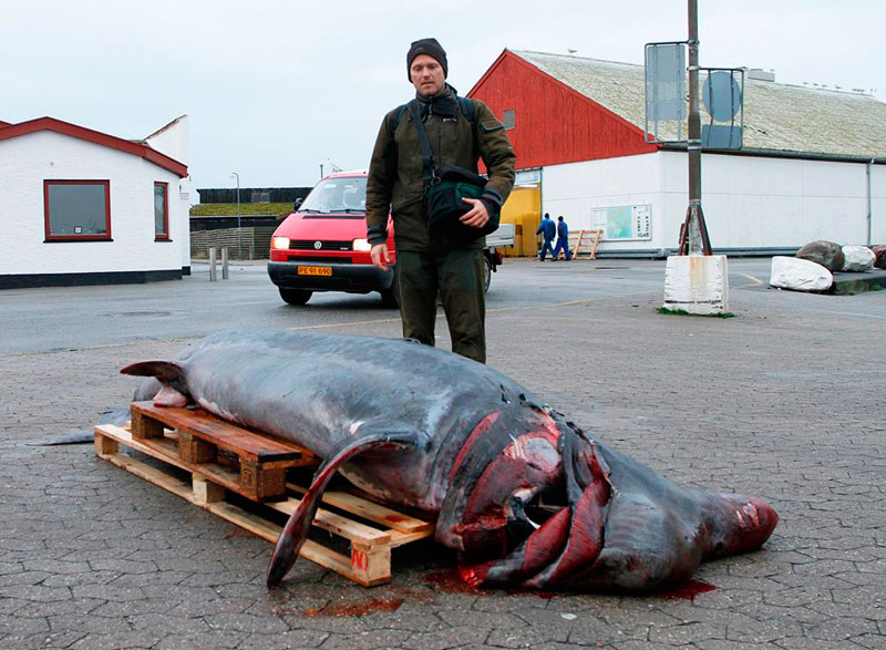 Гигантские акулы возвращаются к берегам Дании?