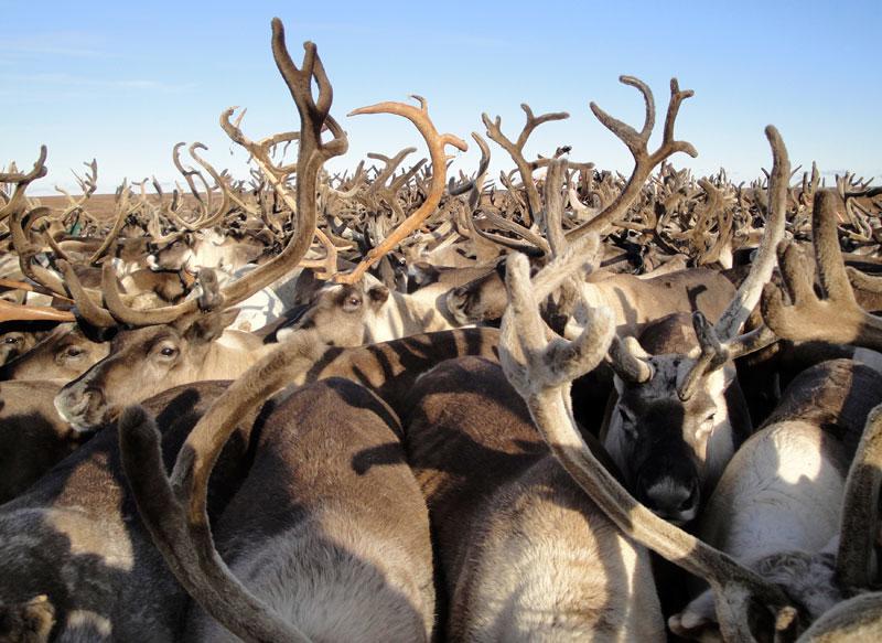 Ямал поставит в Финляндию оленину