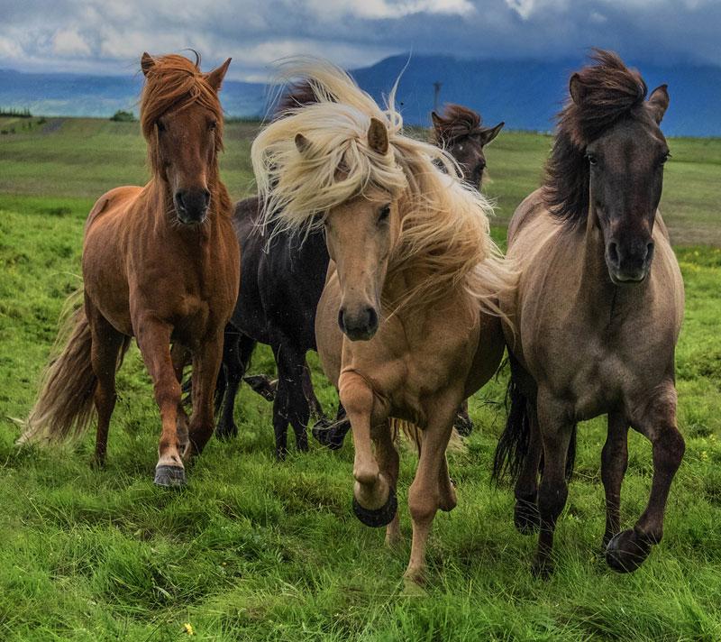 В Исландии откроют музей национальной породы лошадей (VIDEO)
