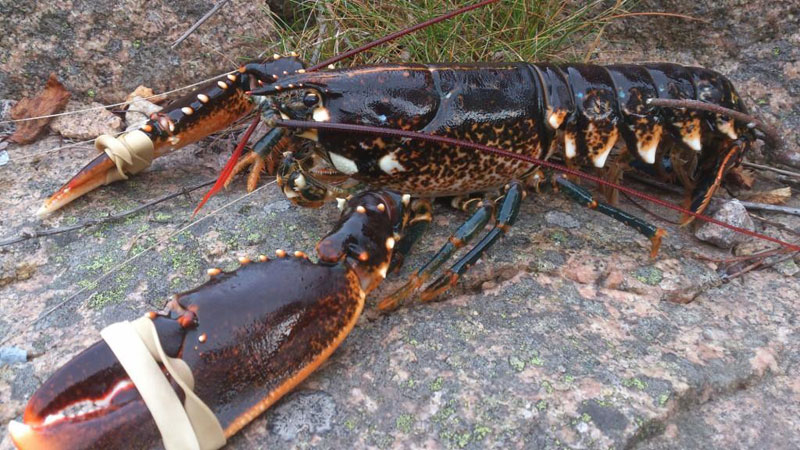 Швеция: в королевстве открылся сезон ловли омаров