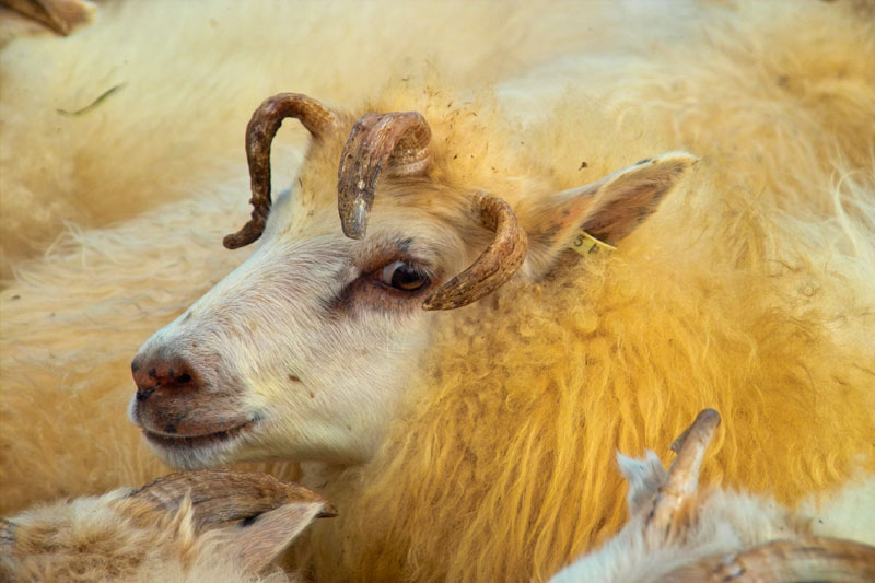 Финляндия: требуются пастухи для работы в заповедных зонах