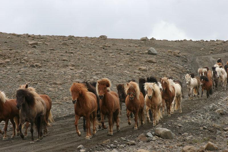 Исландия: своим лошадям только исландские имена