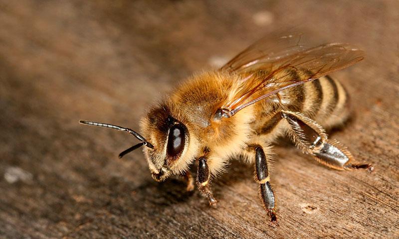 Финляндия: в стране выводят новую породу морозоустойчивых пчел