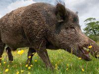 Дания: власти построят водный барьер от диких свиней-иммигрантов