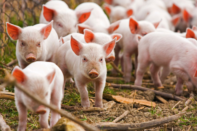 Дания: животноводы королевства завоевывают Китай