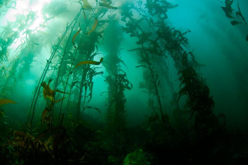 Дания: топливо из водорослей – реальность будущего