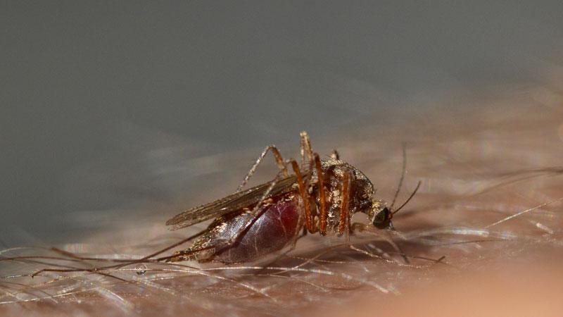 Швеция: 1000 евро лучшему в мире ловцу комаров